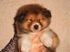 Eh! Bel Amour Gold (Chiot 1)