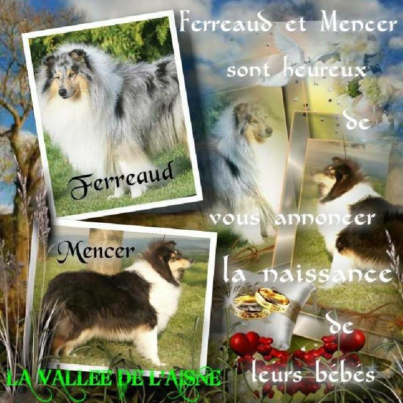 de la Vallée de l'Aisne - Colley à poil long - Portée née le 07/01/2015
