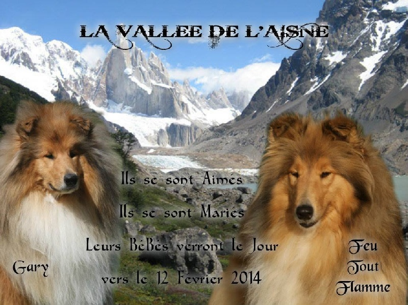de la Vallée de l'Aisne - Colley à poil long - Portée née le 09/02/2014