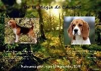 Beagle - de la Magie de l'Argoat