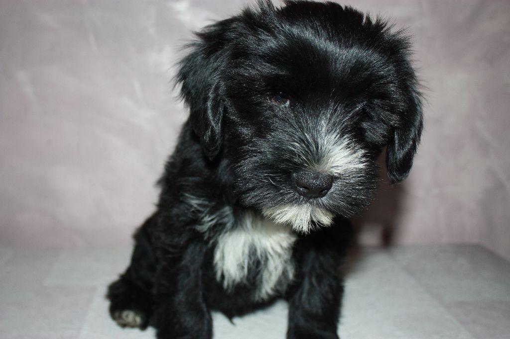 de Makalu - Chiot disponible  - Terrier tibetain