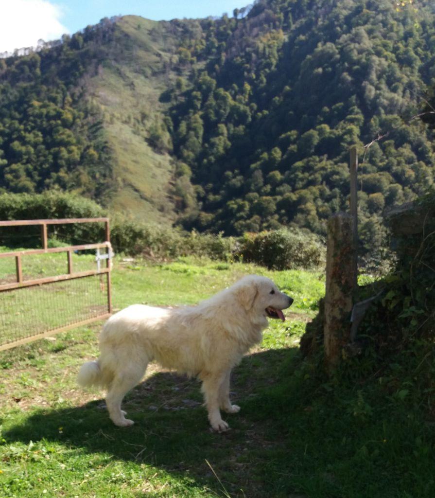 du Haras de Chante-Neige - Chiot disponible  - Chien de Montagne des Pyrenees