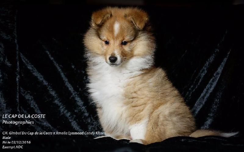MAX LA MENACE - Shetland Sheepdog