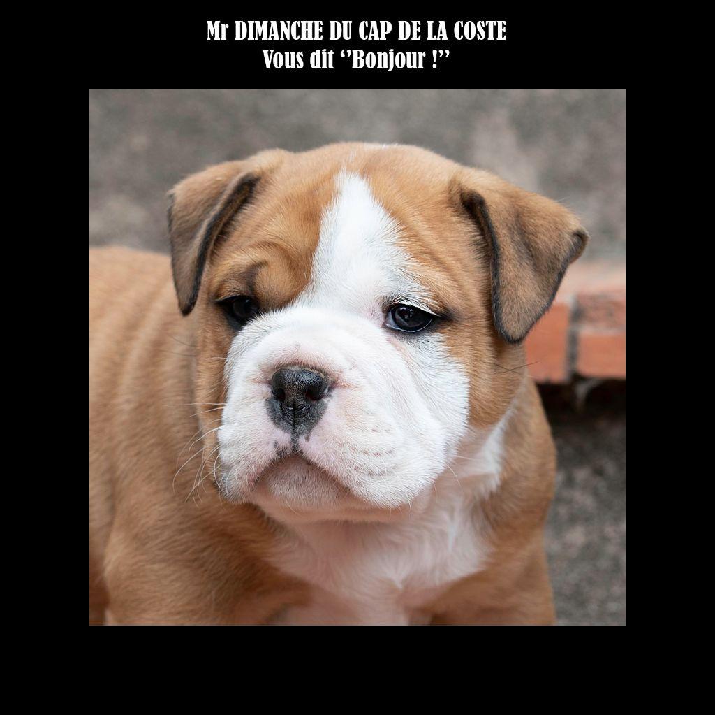 du Cap de la Coste - Chiot disponible  - Bulldog continental