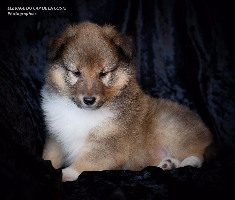 MICHIGAN  - Shetland Sheepdog