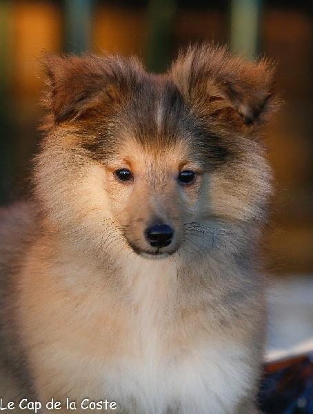 du Cap de la Coste - Chiot disponible  - Shetland Sheepdog