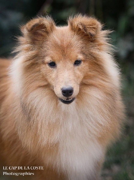 du Cap de la Coste - Chiot disponible  - Shetland Sheepdog