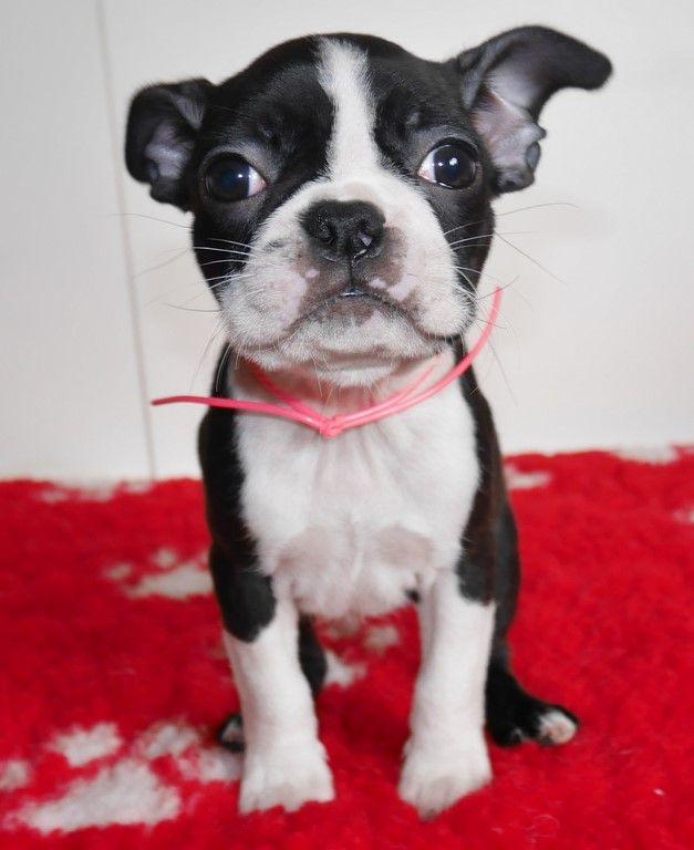 Of Honey's Bulls - Chiot disponible  - Boston Terrier