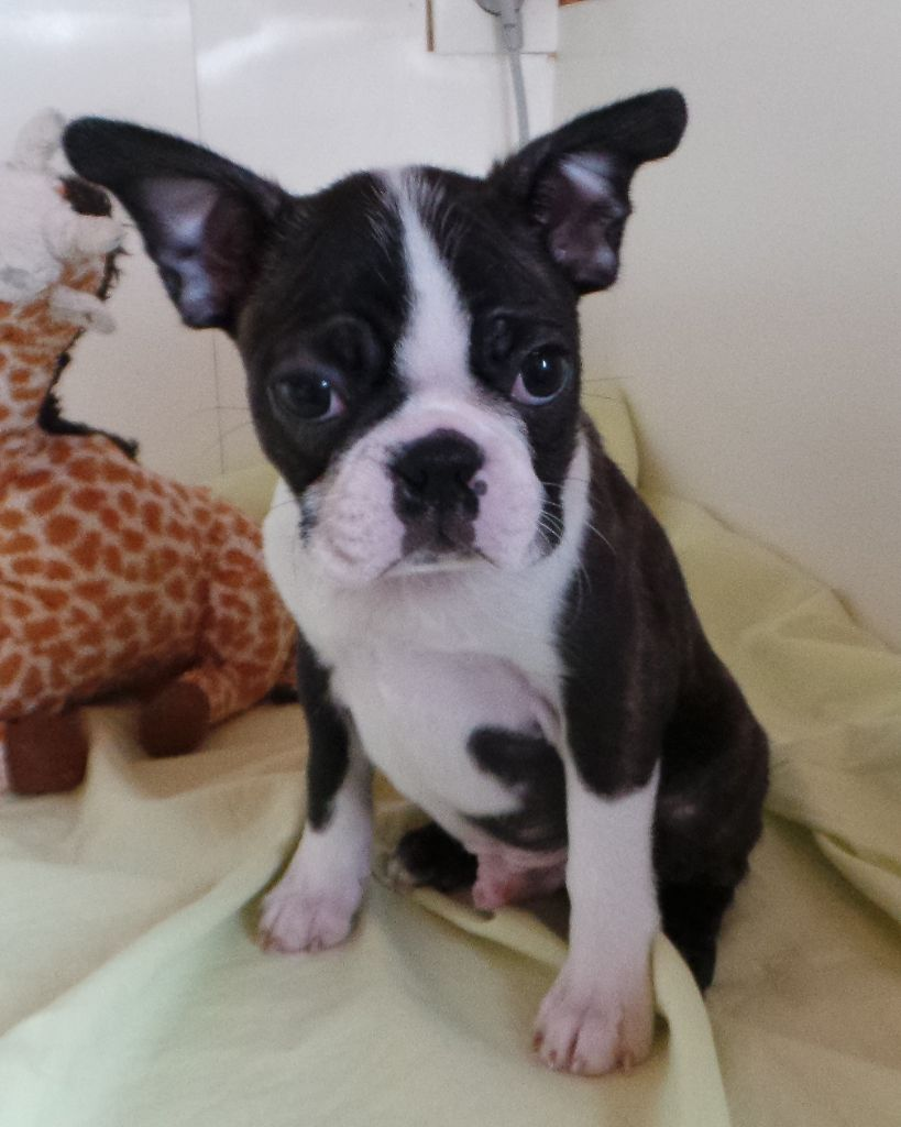 Of Honey's Bulls - Chiot disponible  - Boston Terrier