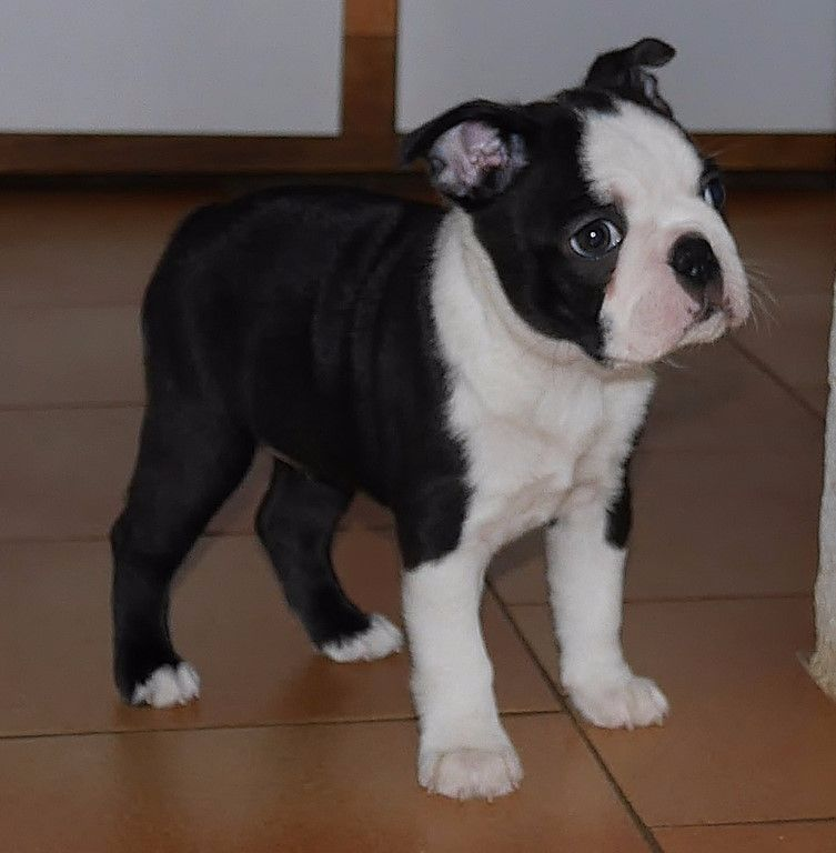 Of Honey's Bulls - Boston Terrier - Portée née le 13/09/2017