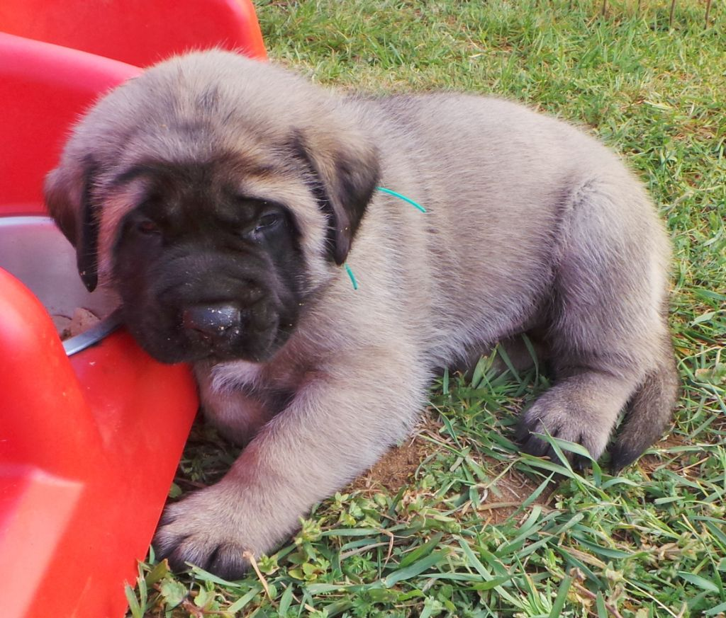 Of Honey's Bulls - Chiot disponible  - Mastiff