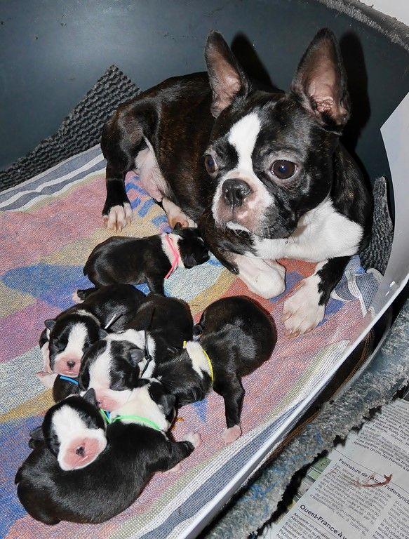 Of Honey's Bulls - Boston Terrier - Portée née le 23/01/2019