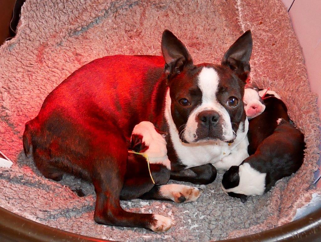 chiot Boston Terrier Of Honey's Bulls