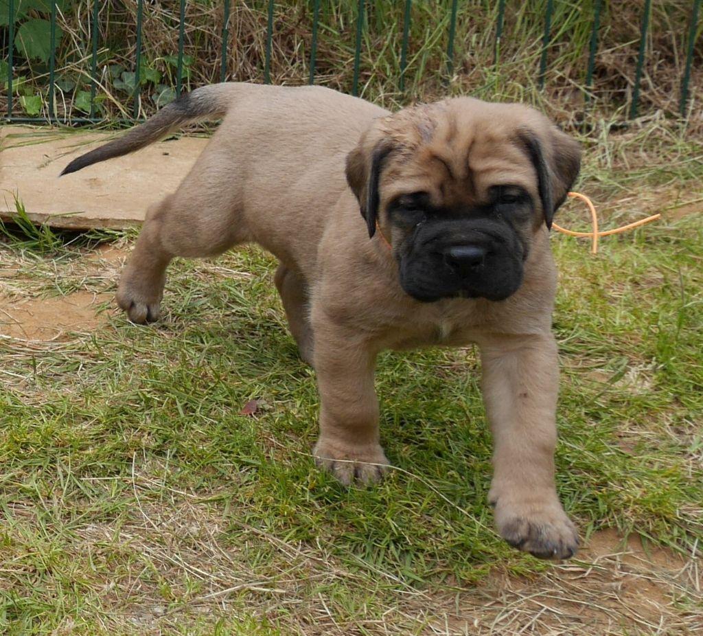 Of Honey's Bulls - Chiot disponible  - Mastiff
