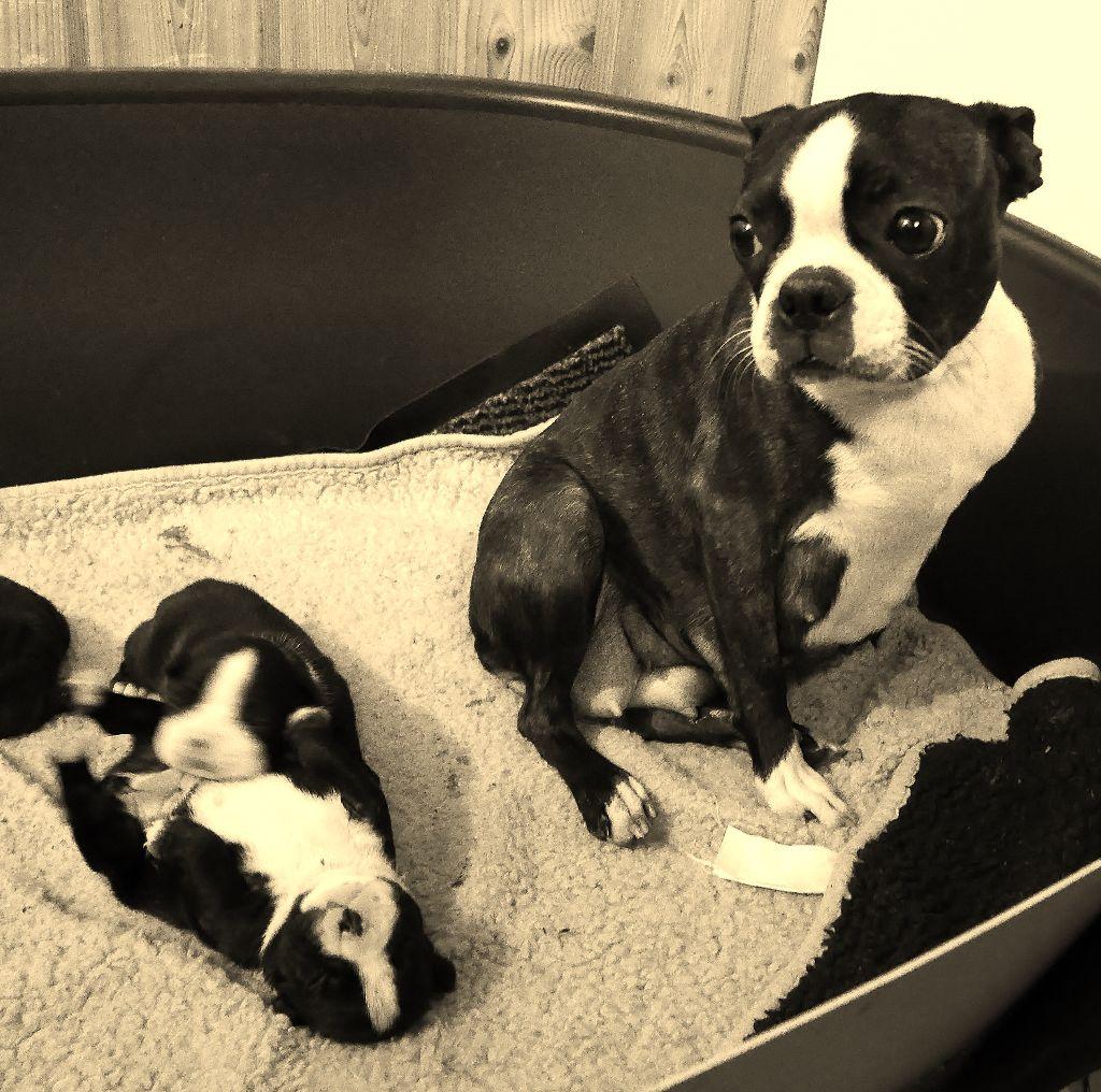 Of Honey's Bulls - Boston Terrier - Portée née le 27/01/2018