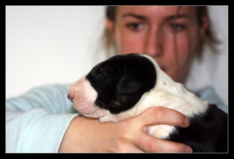 lou Prouvencaou - Chiot disponible  - Bull Terrier
