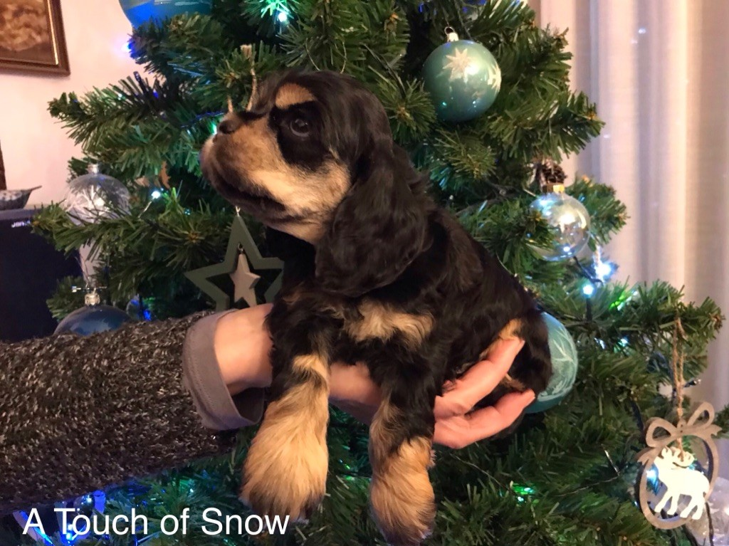 A touch of snow - Chiot disponible  - American Cocker Spaniel