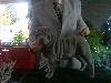- Gestation de Made in la NB x Chernyi  Chizh Something Special