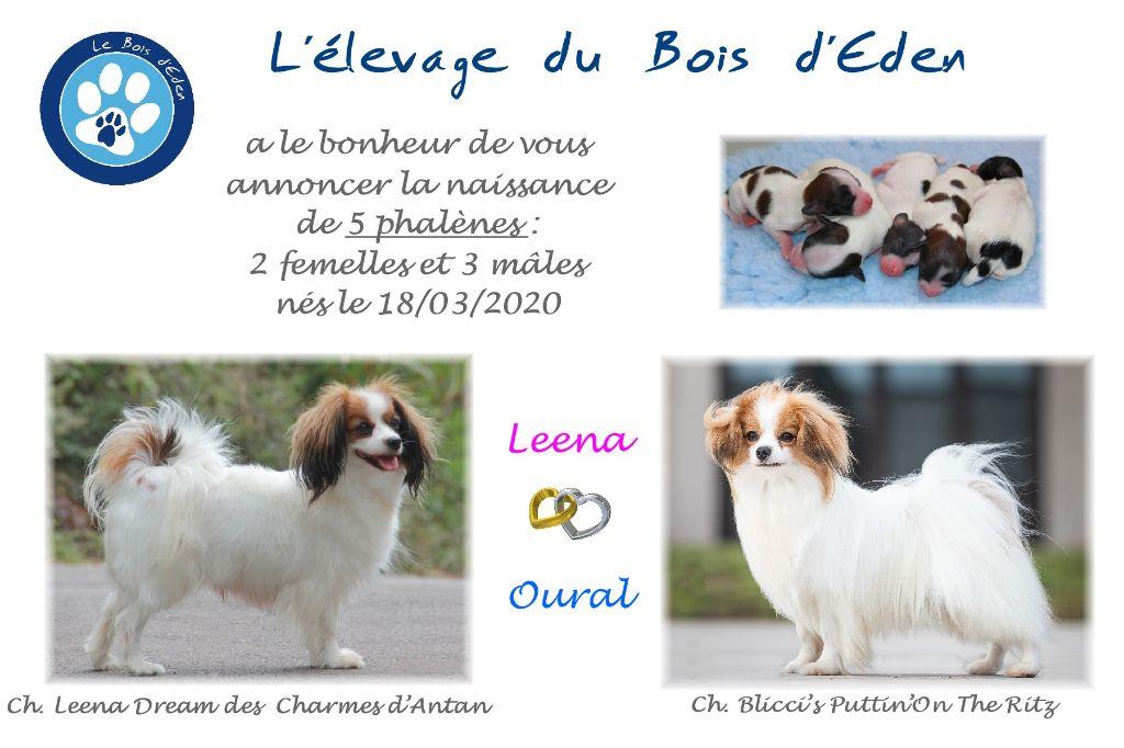 du Bois d'Eden - Epagneul nain Continental (Phalène) - Portée née le 18/03/2020