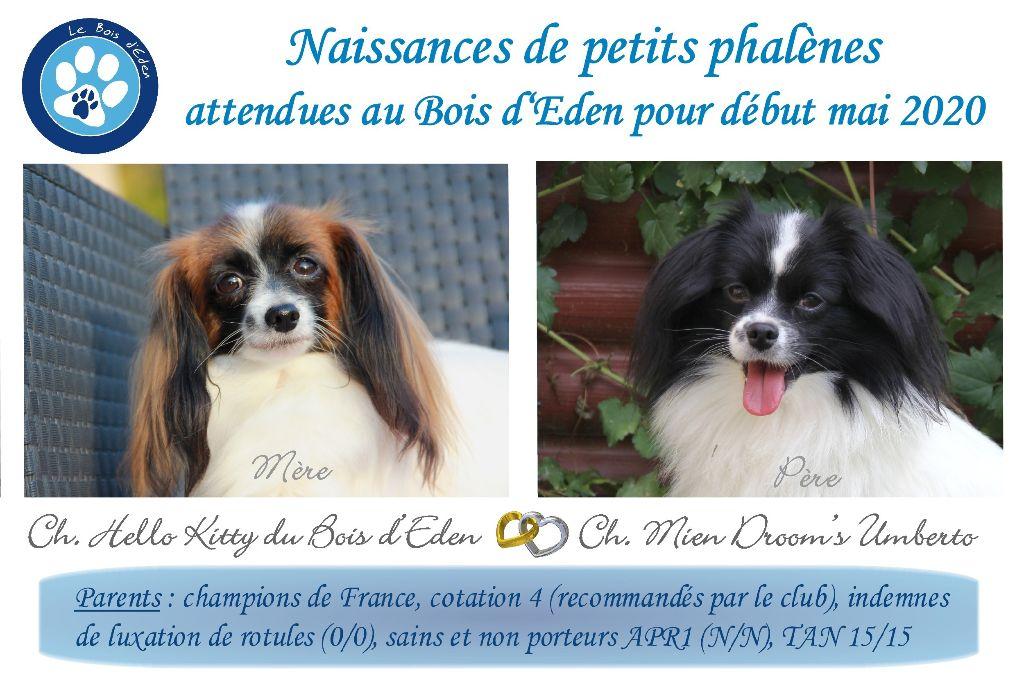 du Bois d'Eden - Epagneul nain Continental (Phalène) - Portée née le 02/05/2020
