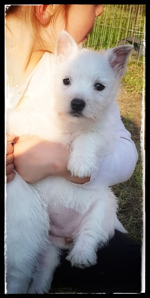 des vallées de la Rocha - Chiot disponible  - West Highland White Terrier