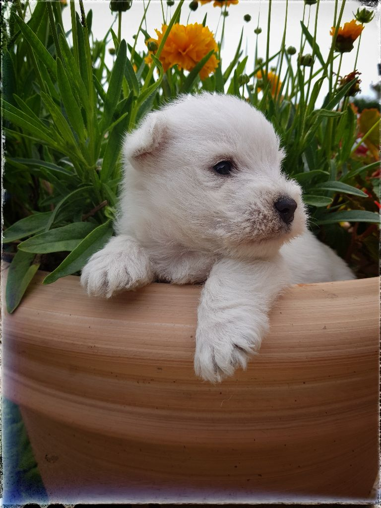 CHIOT - West Highland White Terrier