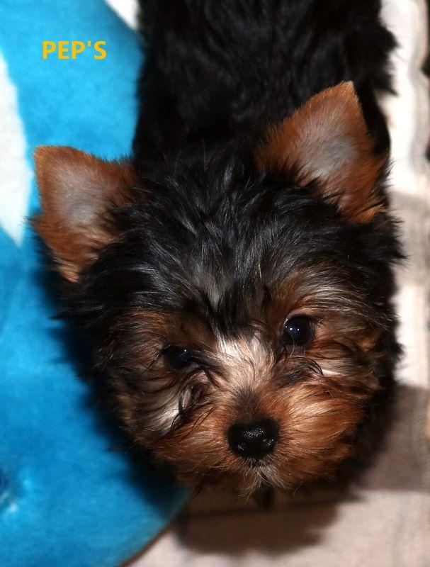 du Mazeroux de la Source Dorée - Chiot disponible  - Yorkshire Terrier