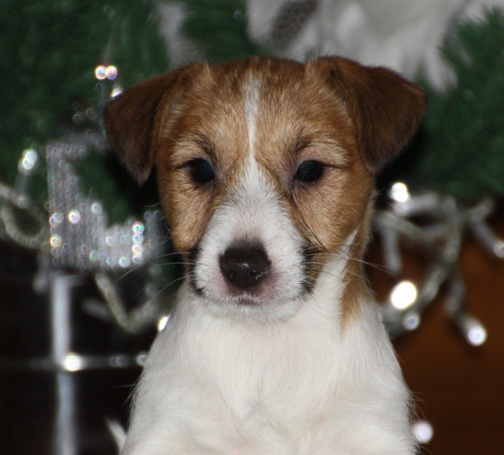 Jokister - Chiot disponible  - Jack Russell Terrier