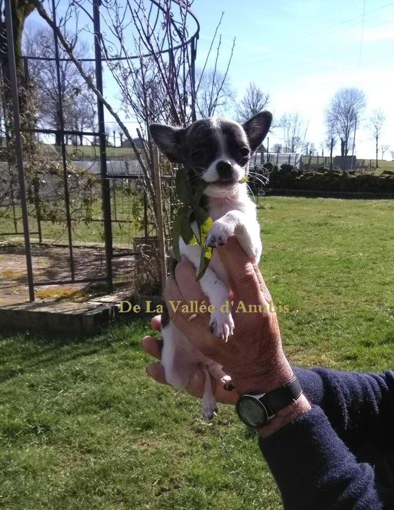 De la vallée d'Anubis - Chiot disponible  - Chihuahua