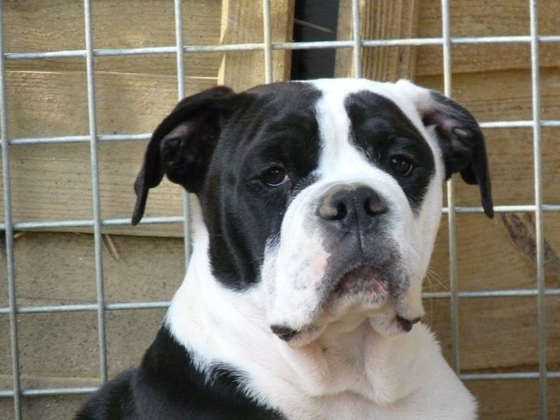 du Hogan des Vents - Chiot disponible  - Bulldog continental