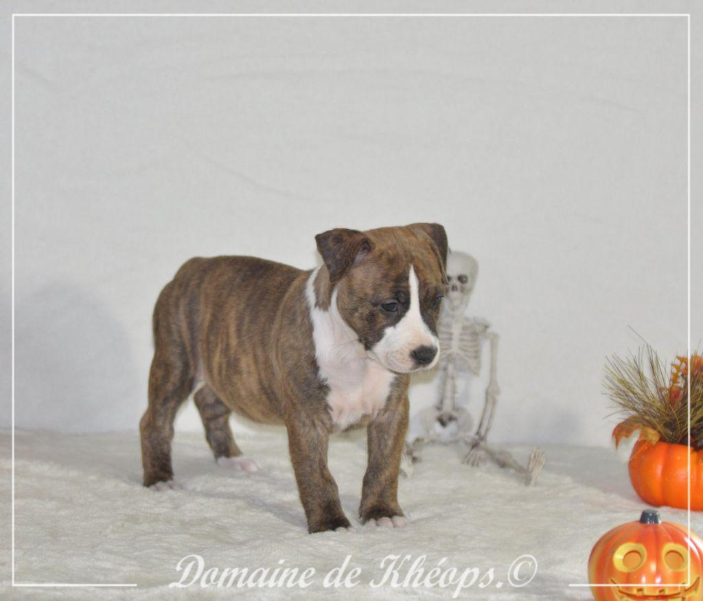du Domaine de Kheops - Chiot disponible  - American Staffordshire Terrier