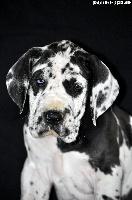 de la Barasseine - Dogue allemand - Portée née le 07/12/2012
