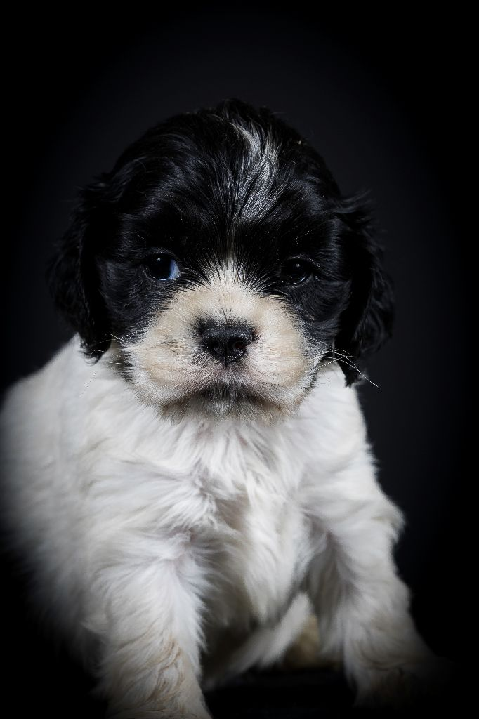 CHIOT - American Cocker Spaniel