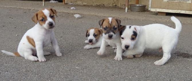 Gut bekannt Accueil - Elevage du creux du nant - eleveur de chiens Jack  GZ67