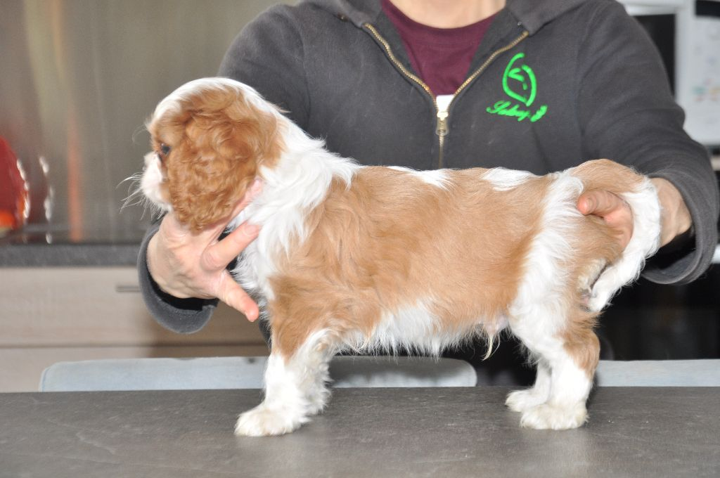 4 6 Year Male Cavalier King Charles Spaniel: Chiot Cavalier King Charles Spaniel, Mâle Disponible En