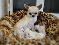 Chihuahua - Des graines de stars