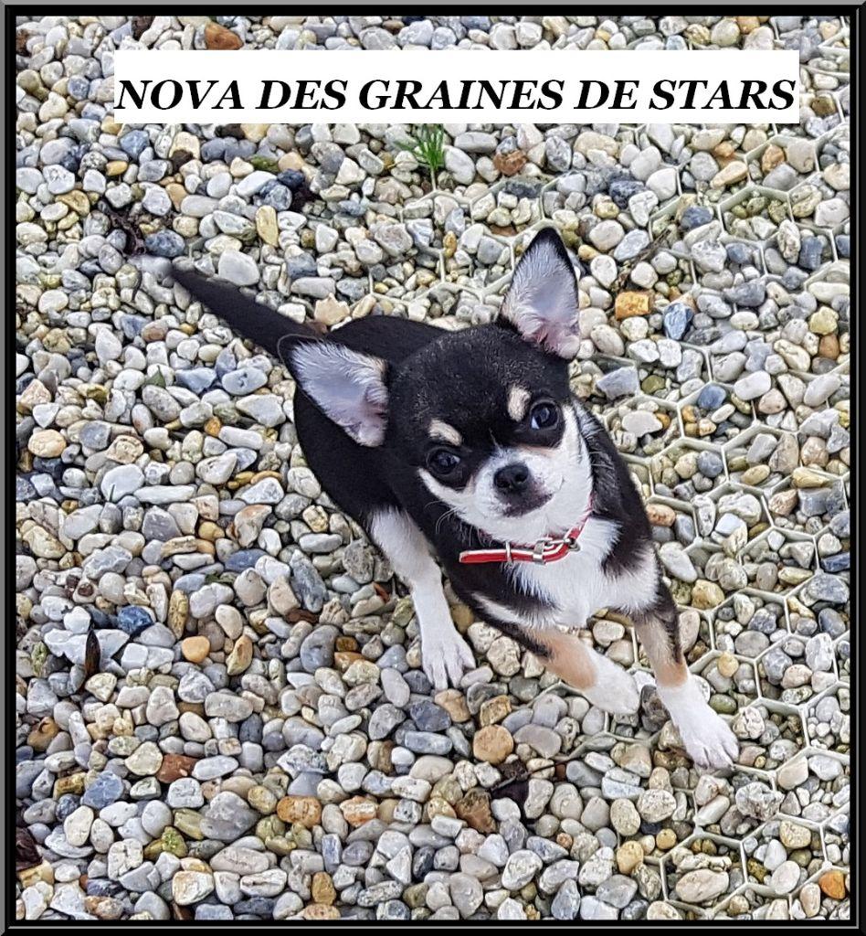 Des graines de stars - Chiot disponible  - Chihuahua