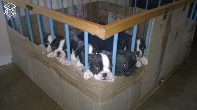 Accueil elevage de la maison du ryez eleveur de chiens for Parc a chiot d interieur