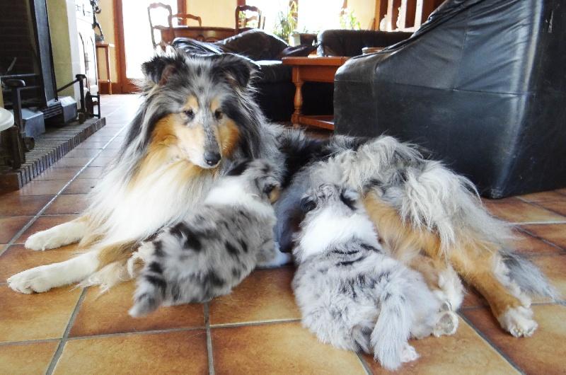 des stuarts de boisbelle - Colley à poil long - Portée née le 16/02/2012