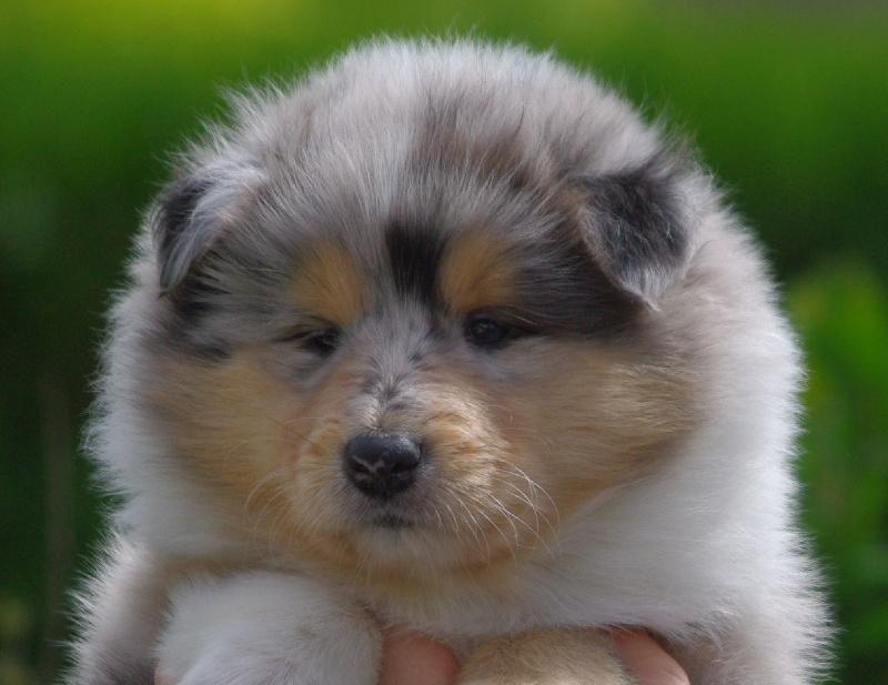 des stuarts de boisbelle - Colley à poil long - Portée née le 07/05/2010
