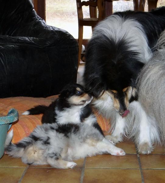 des stuarts de boisbelle - Colley à poil long - Portée née le 09/01/2012