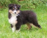 du calin d'eau - Chiot disponible  - Shetland Sheepdog