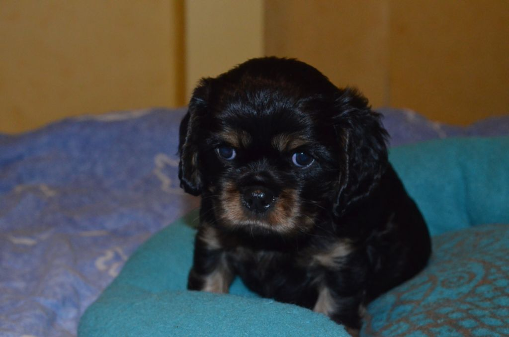 des cavaliers de Loveruva - Chiot disponible  - Cavalier King Charles Spaniel