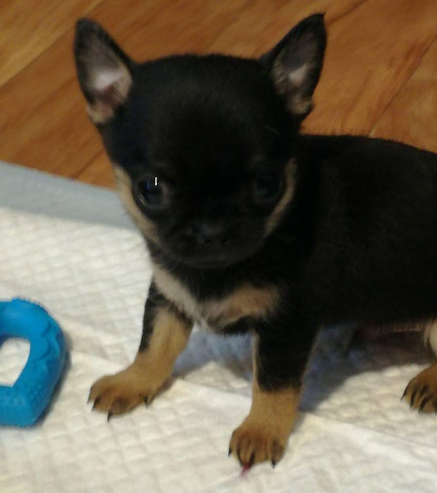 Du sikkim tchoo - Chiot disponible  - Chihuahua