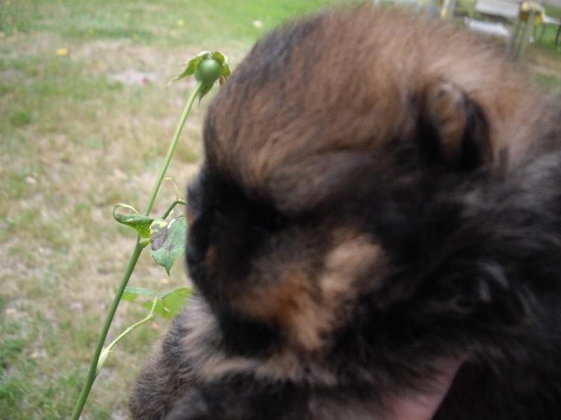 des Oursons de petit-palais - Spitz allemand - Portée née le 04/07/2012