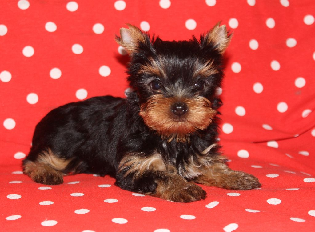de L'Adoree Peneloppe - Chiot disponible  - Yorkshire Terrier