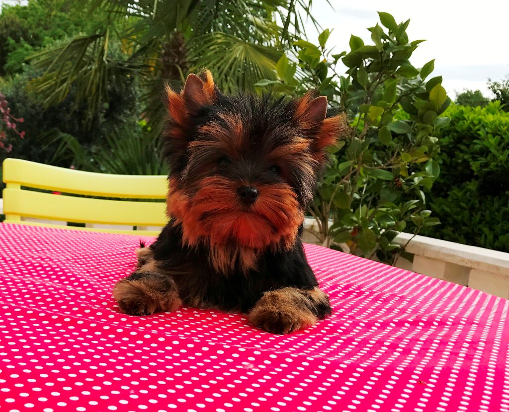 PIN - UP - Yorkshire Terrier