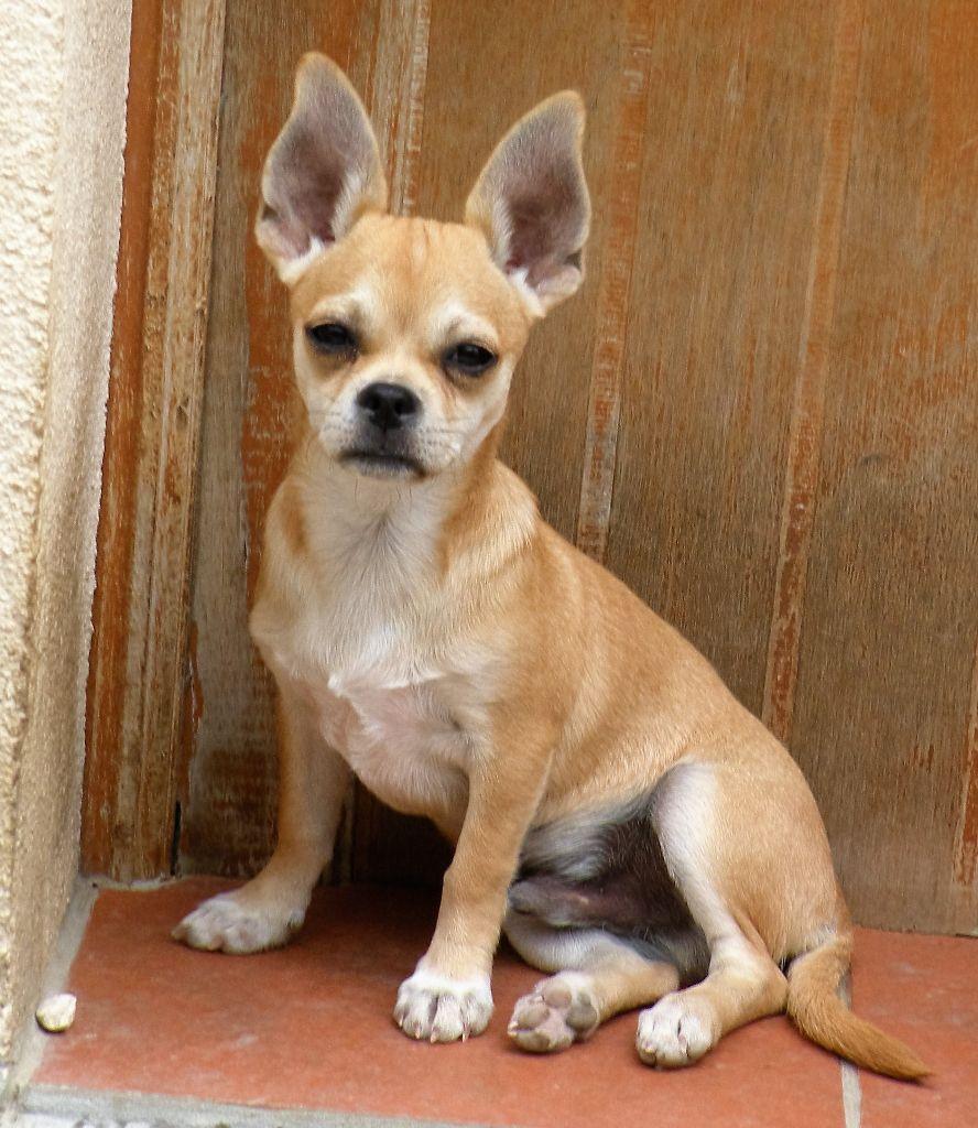 du manoir aux peupliers - Chiot disponible  - Chihuahua