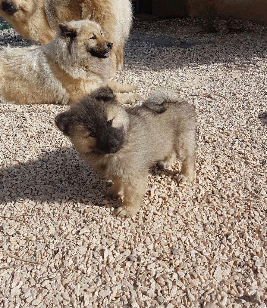 Chiot elevage de jereylle eleveur de chiens eurasier - Couper les griffes d un chiot ...