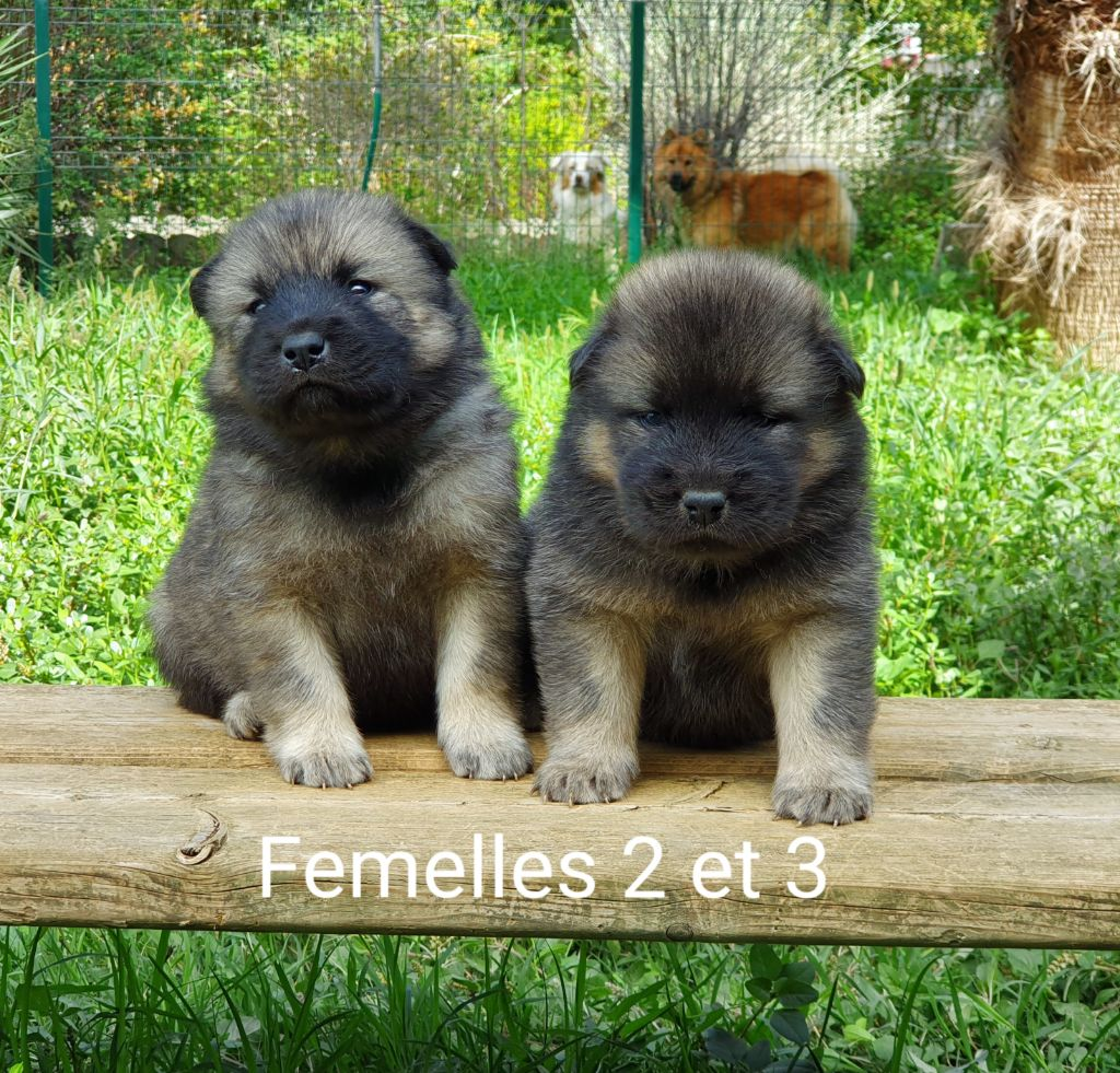 De Jereylle - Eurasier - Portée née le 29/08/2019